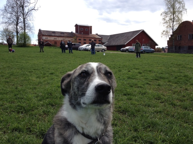 Foxyn kanssa kurssilla harjoittelemassa kuinka näytän sille, että olemme turvassa vieraista ihmisistä ja koirista huolimatta - ei syytä paniikkiin.